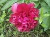 punkosdi-rozsa