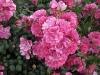 rozsa-aradat