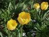 tulipanok-sarga-ruhaban